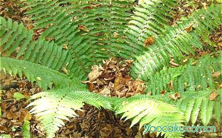 狗脊植物图