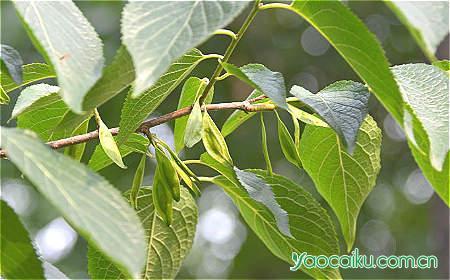 杜仲植物图