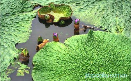 芡实植物图