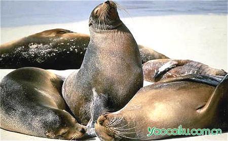 海狗动物图