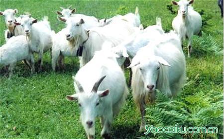 山羊动物图