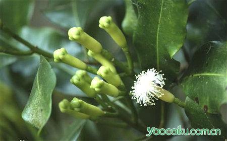 丁香植物图