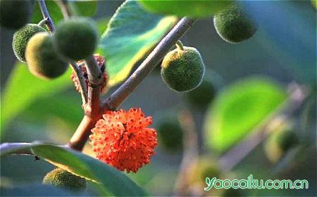 楮实子植物图