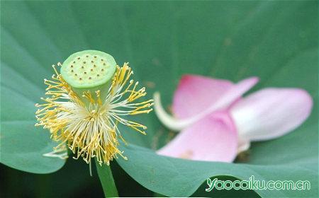 莲子植物图
