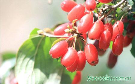 山茱萸植物图