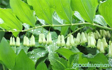黄精植物图