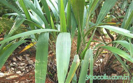 仙茅植物图