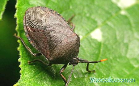九香虫动物图