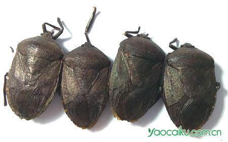 九香虫鉴别图